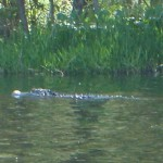 """This is why it's called """"Alligator River"""""""